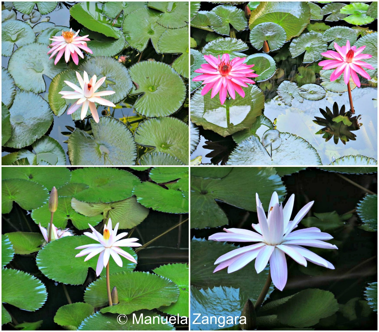 Water Lilies HM