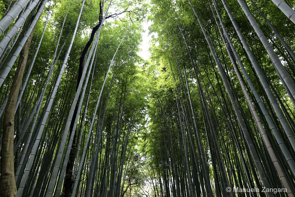Arashiyama Bamboo Groves, Kyoto